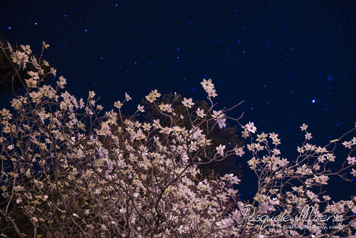 Dogwoods in Yosemite with the Night Sky above.