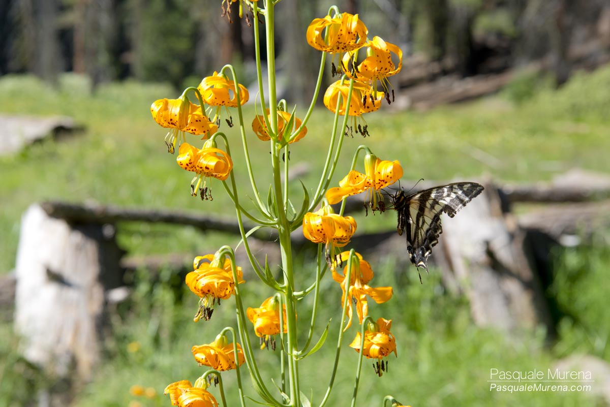 MonarchSequoia1