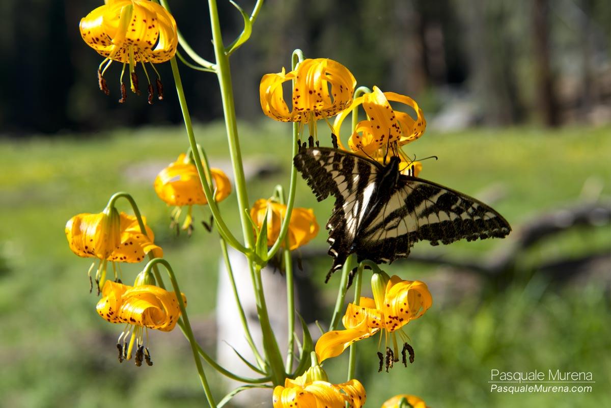 MonarchSequoia2